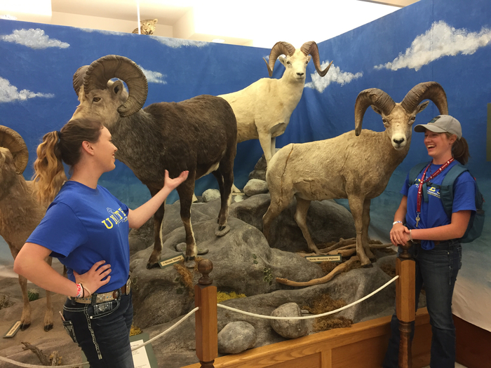 Bighorn, Dall, And Stone sheep